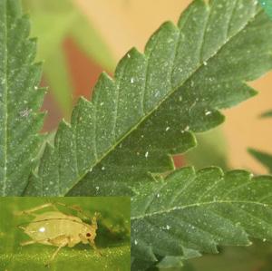 Enfermedades y plagas de las plantas de marihuana - Pulgon en plantas ...