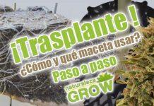 Trasplante de marihuana de macetas